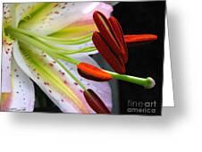 Oriental Lily Hybrid Named Mojave Greeting Card