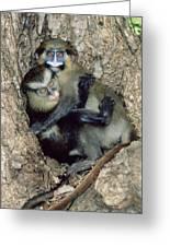 Orphaned Guenons Greeting Card