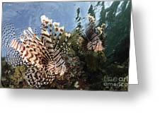 Pair Of Lionfish, Indonesia Greeting Card