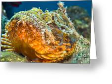Papuan Scorpionfish Lying On A Reef Greeting Card