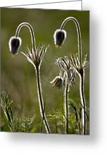 Pasque Flower (pulsatilla) Greeting Card
