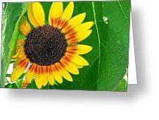 Peeping Sunflower Greeting Card