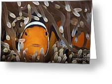 Percula Clownfish In Its Host Anemone Greeting Card