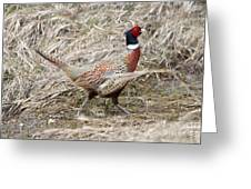 Pheasant Walking Greeting Card