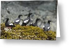 Pigeon Guillemot Cepphus Columba Group Greeting Card