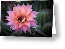 Pink Echinopsis Greeting Card