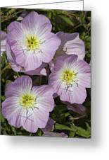 Pink Evening Primrose Wildflowers Greeting Card