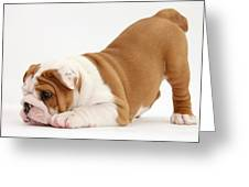 Playful Bulldog Pup Greeting Card