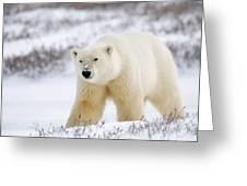 Polar Bear, Churchill, Manitoba Greeting Card