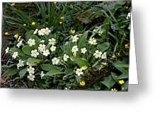 Primroses (primula Vulgaris) Greeting Card by Dr Keith Wheeler