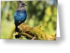 Quinault Lake Stellar Jay Greeting Card