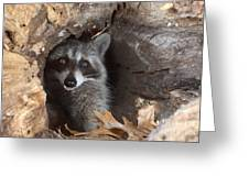 Raccoon Procyon Lotor Greeting Card