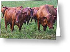 Red Cattle In Jamaica Greeting Card
