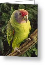 Red-tailed Amazon Amazona Brasiliensis Greeting Card