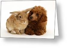 Red Toy Poodle And Rabbit Greeting Card