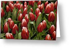 Red Tulip Heaven Greeting Card