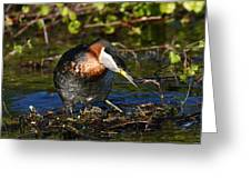 Rednecked Grebe Greeting Card