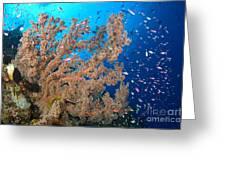 Reef Scene With Sea Fan, Papua New Greeting Card