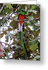 Resplendent Quetzal Greeting Card