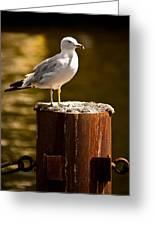 Ring-billed Gull On Pillar Greeting Card