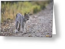 Rocky Mountain Lynx Greeting Card