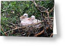 Roseate Spoonbill Chicks Greeting Card