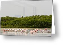 Roseate Spoonbills Ajaia Ajaja Feed Greeting Card by Tim Laman
