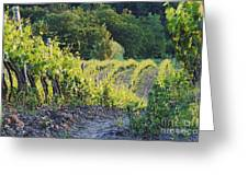 Rows Of Grapevines At Sunset Greeting Card