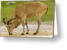Safari Series Greeting Card