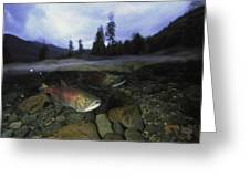Salmon, Clayoquot Sound, Vancouver Greeting Card