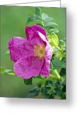 Salt Spray Rose Flower (rosa Rugosa) Greeting Card