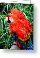 Scalet Macaw Greeting Card