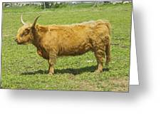 Scottish Highland Cow In Farm Field Maine Greeting Card