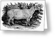 Sheep, C1800 Greeting Card