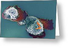 Shigella Sp. Bacteria And Neutrophil Cell Greeting Card