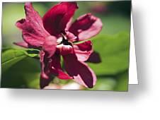 Sinocalycalycanthus Raulstonii Greeting Card