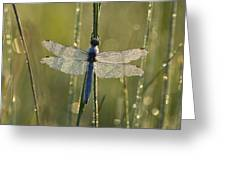 Southern Skimmer Orthetrum Brunneum Greeting Card