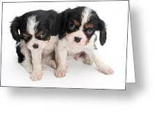 Spaniel Puppies Greeting Card