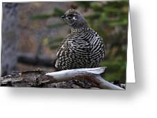 Spruce Grouse Greeting Card