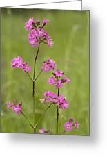 Sticky Catchfly (lychnis Viscaria) Greeting Card