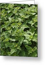 Stinging Nettle (urtica Dioica) Greeting Card