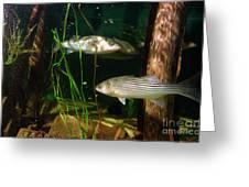 Striped Bass In Aquarium Tank On Cape Cod Greeting Card