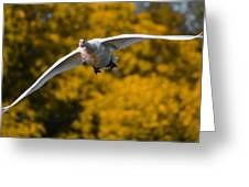 Swan Stare Greeting Card
