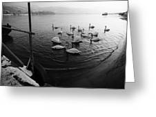 Swans On River Danube Greeting Card