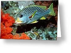 Sweetlips Fish Greeting Card