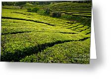 Tea Gardens Greeting Card