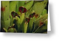 The Rare Carnivorous Sun Pitcher Plant Greeting Card