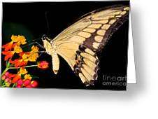 Thoas Swallowtail Butterfly Greeting Card