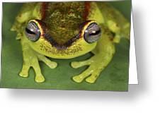 Tree Frog Hyla Rubracyla At Night Greeting Card