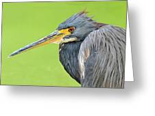 Tricolor Heron Portrait Greeting Card